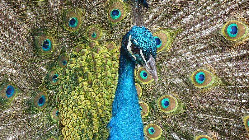 rsz_peacock-bird-feather-close-71131